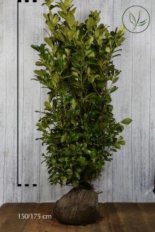 Laurbærkirsebær 'Rotundifolia' Klump 150-175 cm Ekstra kvalitet
