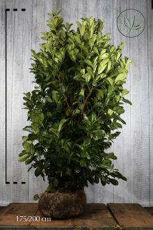 Laurbærkirsebær 'Rotundifolia' Klump 175-200 cm