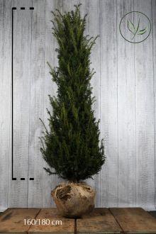 Almindelig taks Klump 160-180 cm Ekstra kvalitet