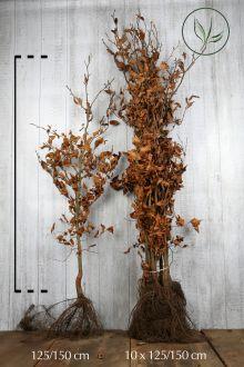 Almindelig bøg Barrods 125-150 cm Ekstra kvalitet