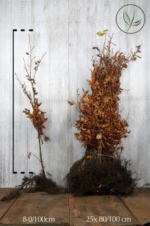Almindelig bøg Barrods 80-100 cm Ekstra kvalitet