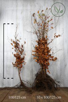 Almindelig bøg Barrods 100-125 cm Ekstra kvalitet