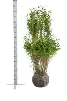 Fargesia 'Simba' Klump 125-150 cm