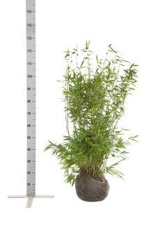 Fargesia 'Jumbo' Klump 80-100 cm