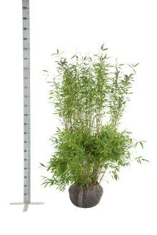 Fargesia 'Jumbo' Klump 125-150 cm