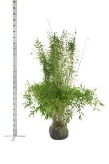 Fargesia 'Jumbo' Klump 150-175 cm