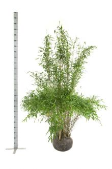 Fargesia 'Jumbo' Klump 175-200 cm