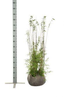 Fargesia jiuzhaigou Klump 80-100 cm