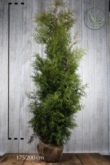 Thuja 'Brabant' Klump 175-200 cm Ekstra kvalitet