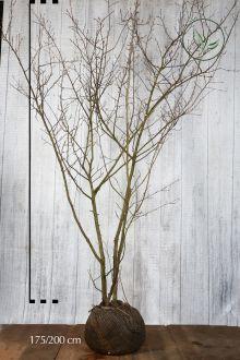Bærmispel Klump 175-200 cm
