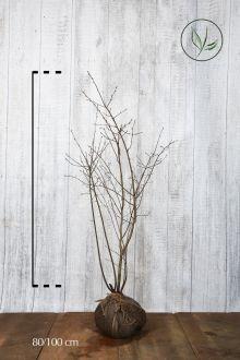 Bærmispel Klump 80-100 cm