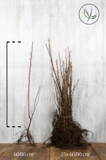 Bærmispel Barrods 60-80 cm