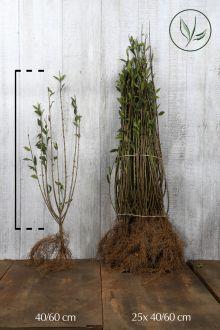 Stedsegrøn liguster 'Atrovirens' Barrods 40-60 cm