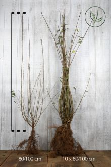 Almindelig liguster Barrods 80-100 cm