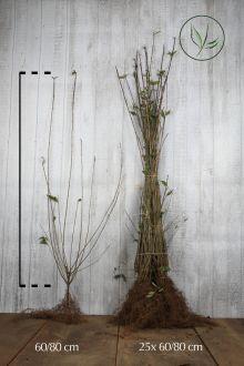 Stedsegrøn liguster 'Atrovirens' Barrods 60-80 cm