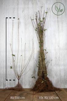 Stedsegrøn liguster 'Atrovirens' Barrods 80-100 cm
