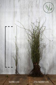 Hunderose Barrods 60-80 cm