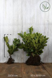 Laurbærkirsebær 'Rotundifolia' Barrods 20-30 cm
