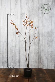 Bærmispel Potte 100-125 cm