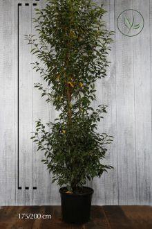 Portugisisk laurbærkirsebær Potte 175-200 cm Ekstra kvalitet