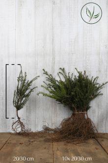 Almindelig taks Barrods 20-30 cm