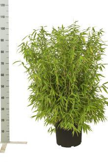 Fargesia 'Jumbo' Potte 60-80 cm
