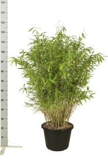 Fargesia 'Jumbo' Potte 100-125 cm