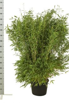 Fargesia 'Jumbo' Potte 125-150 cm