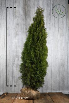 Thuja 'Smaragd' Klump 175-200 cm Ekstra kvalitet