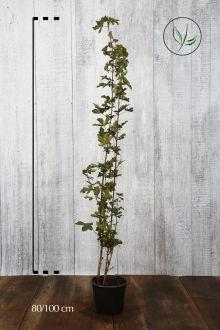 Navr Potte 80-100 cm