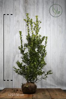 Kristtorn 'Blue Maid' Klump 125-150 cm