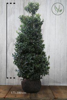 Kristtorn 'Blue Maid' Klump 175-200 cm Ekstra kvalitet