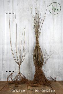 Stedsegrøn liguster 'Atrovirens' Barrods 100-125 cm