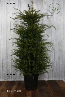 Almindelig taks Potte 150-175 cm Ekstra kvalitet