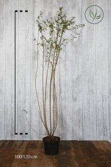 Stedsegrøn liguster 'Atrovirens' Potte 100-120 cm Ekstra kvalitet