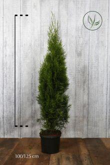 Thuja 'Smaragd' Potte 100-125 cm Ekstra kvalitet