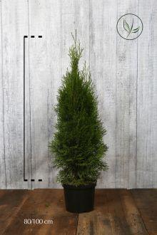 Thuja 'Smaragd' Potte 80-100 cm Ekstra kvalitet