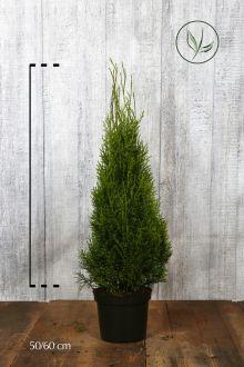 Thuja 'Smaragd' Potte 50-60 cm Ekstra kvalitet