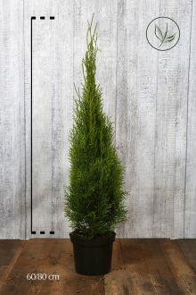 Thuja 'Smaragd' Potte 60-80 cm Ekstra kvalitet