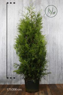 Thuja 'Brabant' Potte 175-200 cm Ekstra kvalitet