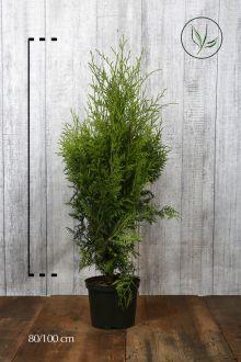 Thuja 'Brabant' Potte 80-100 cm Ekstra kvalitet