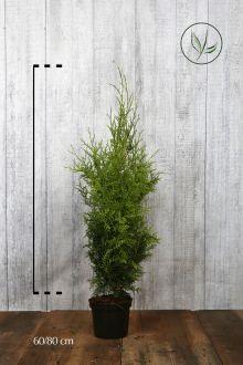 Thuja 'Brabant' Potte 60-80 cm