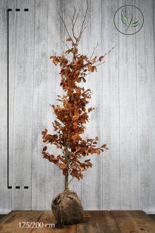 Almindelig bøg Klump 175-200 cm Ekstra kvalitet