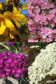 Høj blomstrende hæk 1 Barrods 30-60 cm