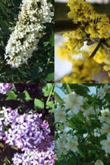 Høj blomstrende hæk 2 Potte 30-60 cm