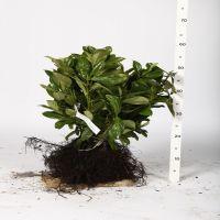 Laurbærkirsebær 'Etna' Barrods 25-30 cm