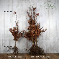 Rød bøg Barrods 100-125 cm Ekstra kvalitet