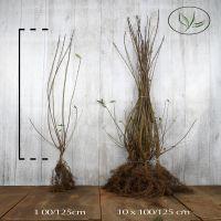 Almindelig liguster Barrods 100-125 cm