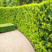 Japansk kristtorn 'Green Hedge'