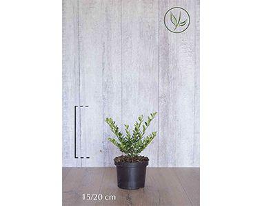 Japansk kristtorn 'Green Hedge'  Potte 15-20 cm Ekstra kvalitet